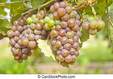 Bunches of Pinot Grigio or Pinot Gris grapes ripening in a vineyard.