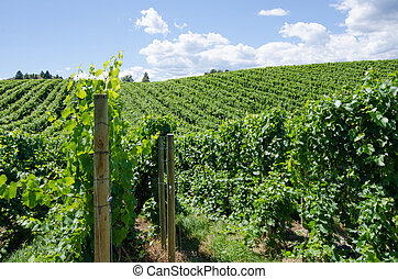 Pinot gris vineyard in the Okanagan