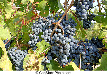 True Pinot Noir grapes. Focus = center grapes where crossed by branch. 12MP camera.