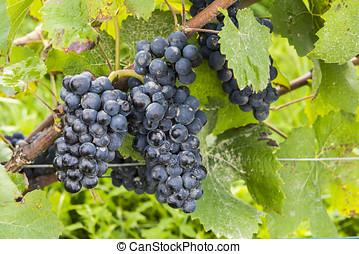 Pinot Noir Grapes Autumn