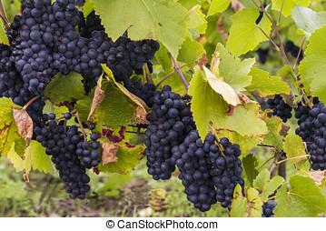Pinot Noir Grapes Champagne Autumn - Blue Pinot Noir Grapes...