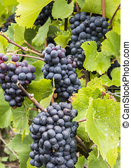 Pinot Noir Grapes Champagne - Several Pinot Noir Grapes in...
