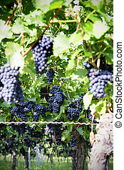 Pinot Noir Grapes in Rheinhessen, Germany