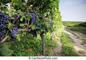 Pinot Noir Grapes in Rheinhessen, Germany; selective focus...