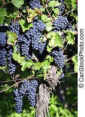 Pinot Noir Grapes in Rheinhessen, Germany; selective focus
