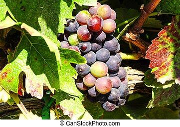 Pinot Noir grapes in Salinas Valley - Pinot Noir grapes...