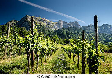 pinot noir grapes in vineyard in Switzerland with mountain landscape behind