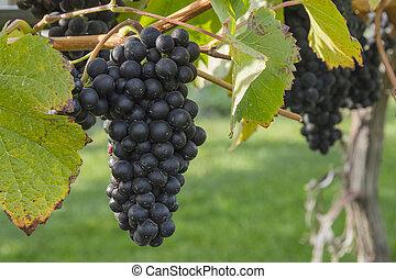 Pinot Noir Grapes in Vineyard Okanagan Kelowna British Columbia Canada