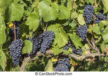 Pinot Noir Grapes on a Vine Champagne - Vine in a vineyard...
