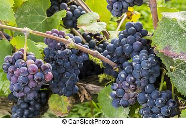 Pinot Noir Grapes - Blue pinot noir grapes with a little bit...
