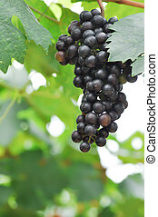 Pinot Noir, Pinot Noir grape or grape plant in the orchard