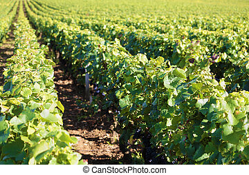 Pinot noir red wine grapes vineyard burgundy france
