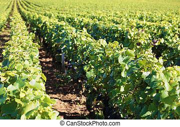 Pinot noir red wine grapes vineyard burgundy france