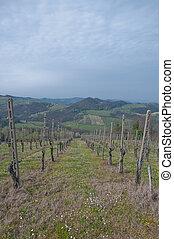 pinot noir vineyard located Oltrepo Pavese,italy