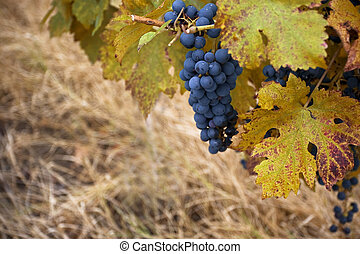 Pinot noir wine grape in autumn - Horizontal close up of a...