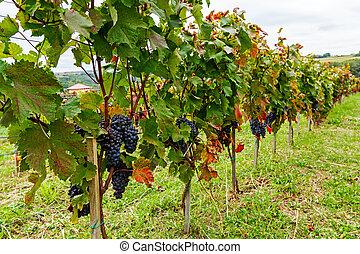 Pinot of ripe Merlot grapes - Ripe of Merlot grapes on the...