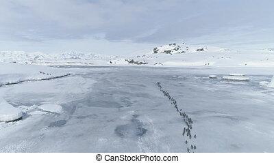 pinquins, migratie, door, antarctica, peninsula.