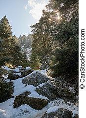 Pinsapo fir forest with snow, rocks and bright sun in Sierra de las Nieves Puerto de los Pilones