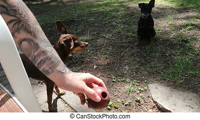 Pinscher dog enjoying playing ball outdoor