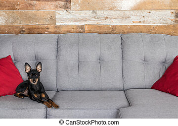 Pinscher dog laying in the couch of the living room no audio