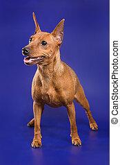 Pinscher dog on a blue background