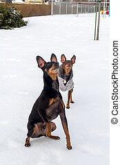 pinscher, jouant temps, chien, hiver, dehors
