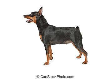 pinscher, miniature, debout, fond blanc, chien