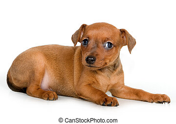Pinscher puppy on a white background