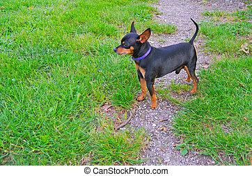 Standing miniature pinscher dog in the grass