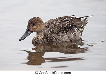 pintail duck on the lake
