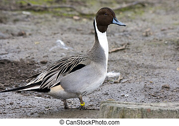 Pintail or northern pintail (Anas acuta)