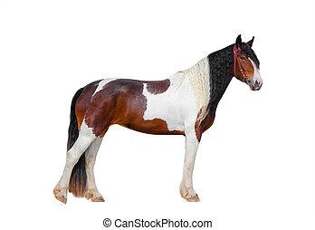 Pinto gypsy horse