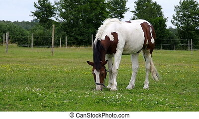 Pinto horse grazing on farm. Brown-white horse on meadow eat...