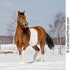 pinto horse in winter