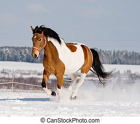 pinto horse running in snow