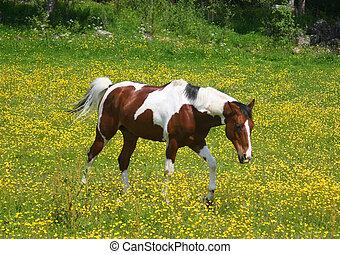 pinto, paarde, in, een, geel veld