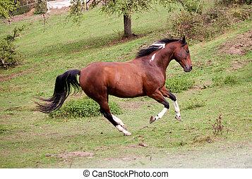 pinto, pferd, galopp, mächtig, frei, in, wiese