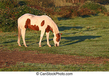 Pinto grazing in late afternoon sun
