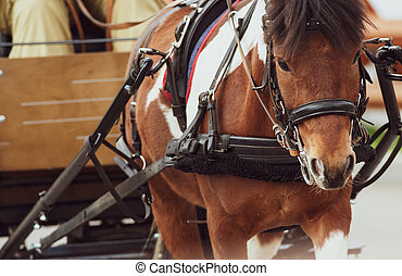 pinto, pony, in, wagen