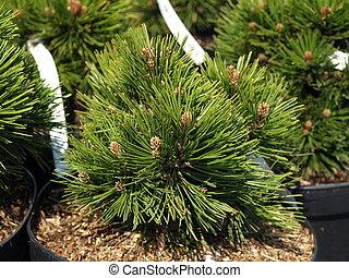 Pinus leucodermis, closeup - Closeup of Pinus leucodermis '...
