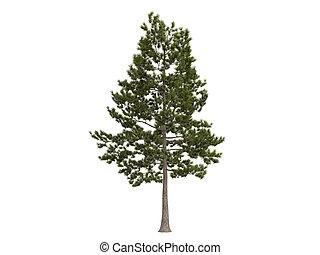 pinus, loblolly, taeda, of, dennenboom