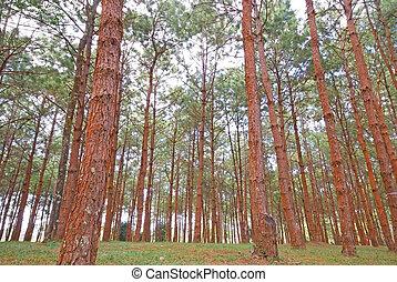 pinus - Pinus tree landscape