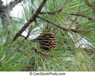 Pinus Radiata - pinus radiata @ pine tree
