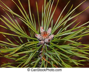 Pinus sylvestris blossom - Scots pine (Pinus sylvestris) ...