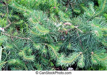 Pinus sylvestris 'Hillside Creeper' in the botanical gardens