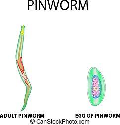 pinworm rajz