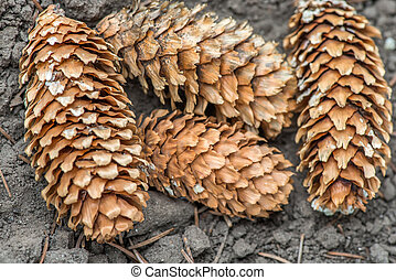 piny cones lying on the ground. closeup