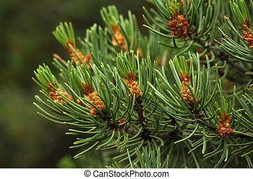 Pinyon Juniper Pine - Located in Mesa Verde National Park, ...
