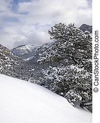 pinyon, winter, sturm, kiefer