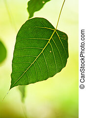 Pipal leaves on green background in